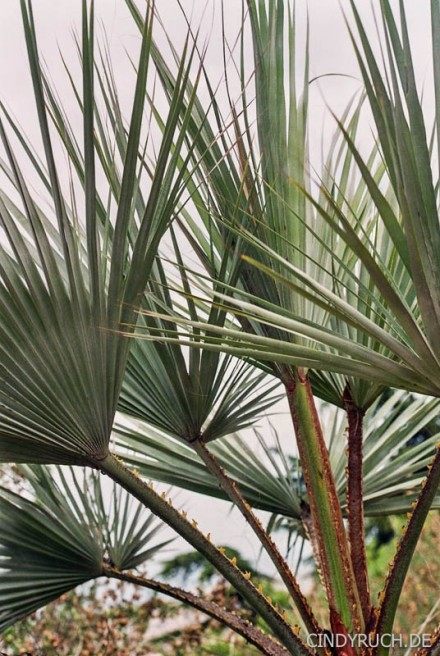 palmwedel