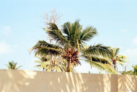 mirigama palm trees